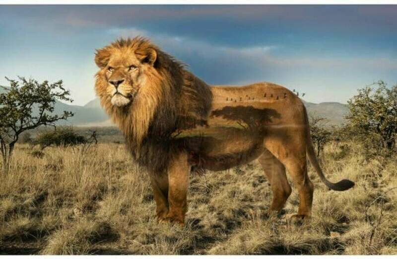 Call of the Wild Lion - Hoffman Fabrics - PANEL