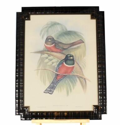 Bombay Co John Gould Trogon Puella Framed Lithograph