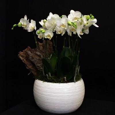 Minis Orchidées
