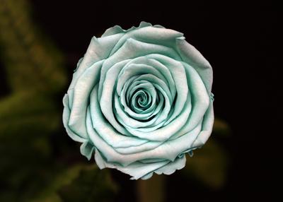 Rose Vert d'Eau