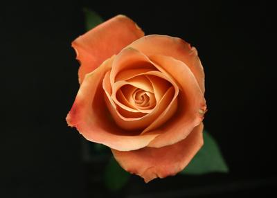 Rose Fado