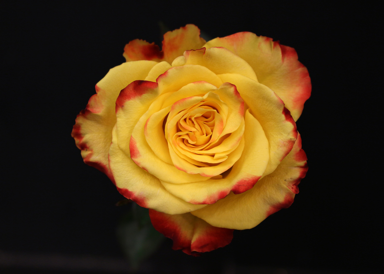 Rose Flamme