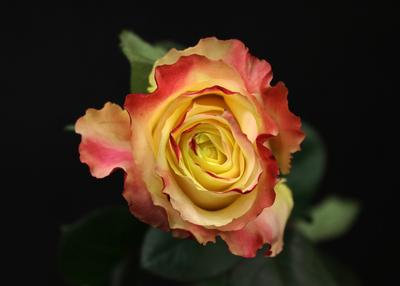 Rose Mya