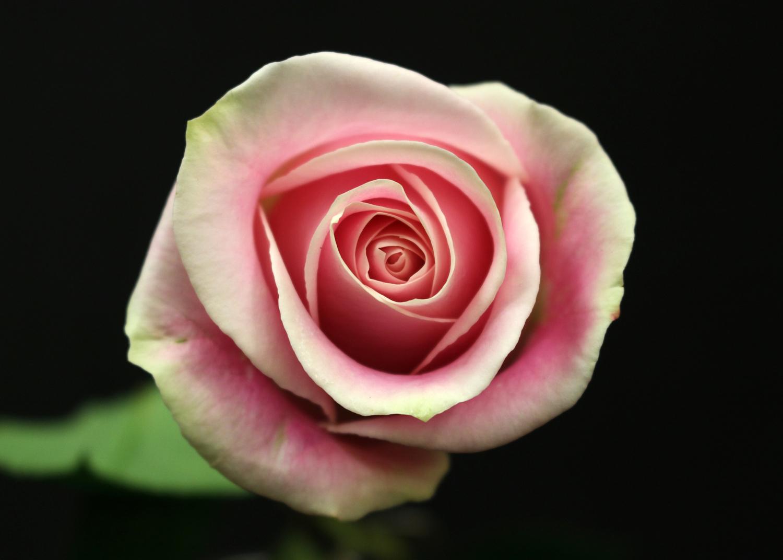 Rose Rosita Vandela