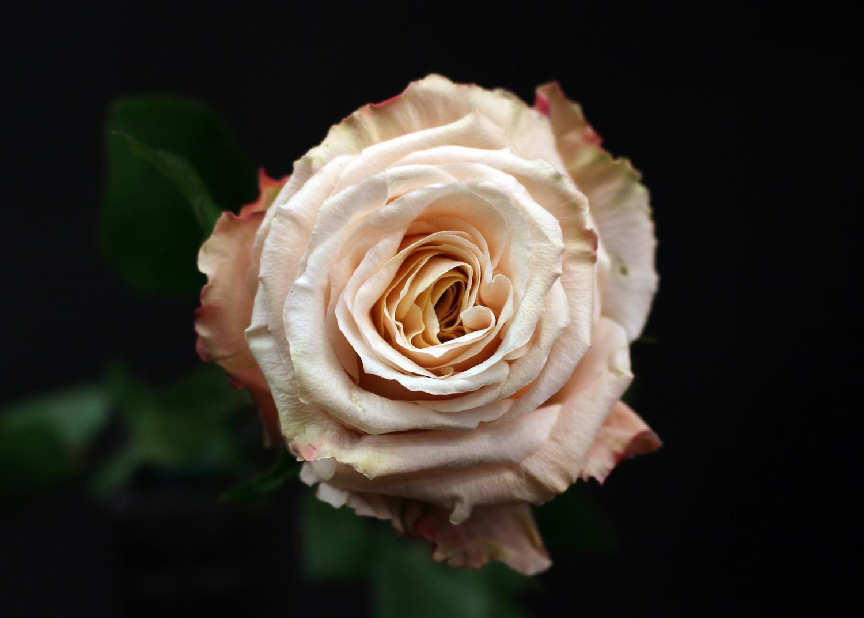 Rose Shimmer