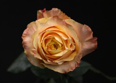 Rose Shimmer Sister