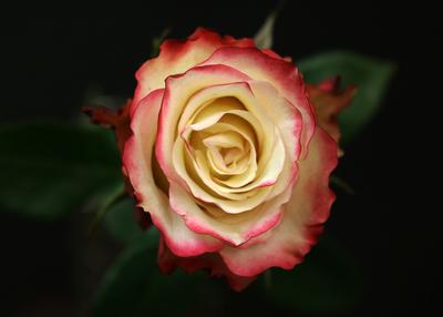 Rose Sweetness