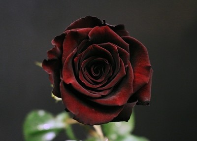 Rose Black Baccara ©