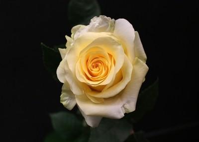 Rose Crème De La Crème