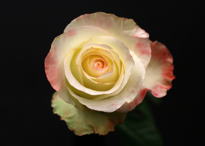 Rose Aubade