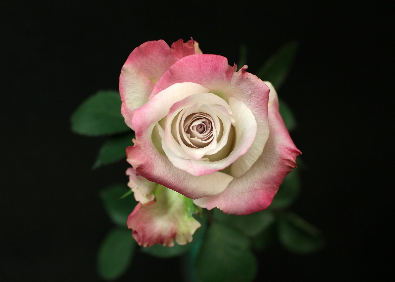 Rose Silver Shadow