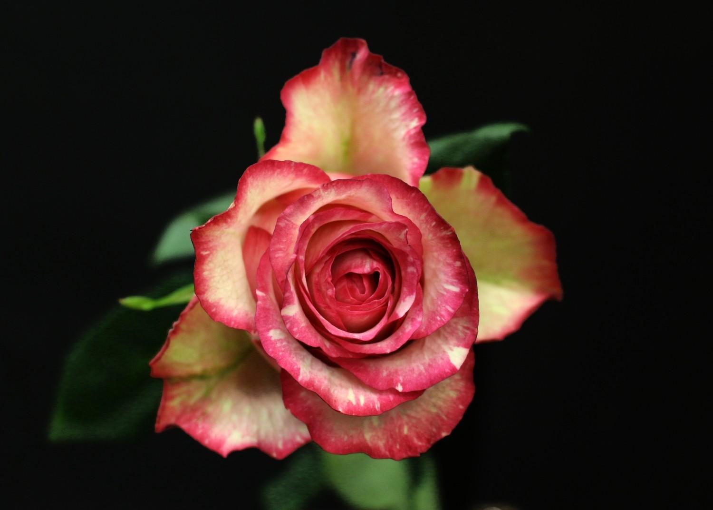 Rose Clown