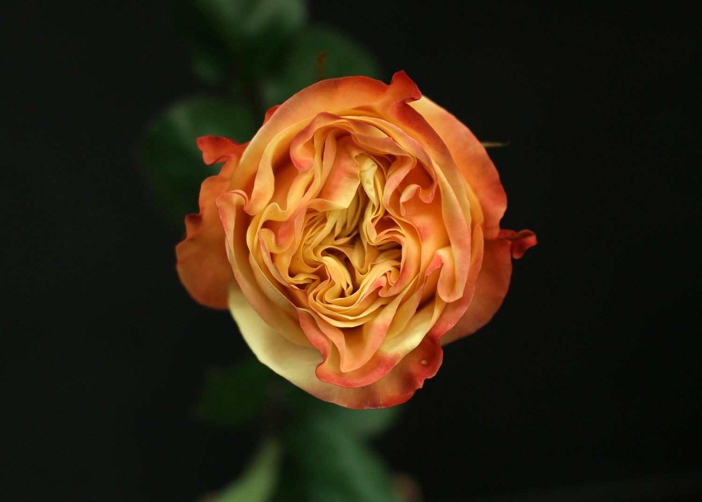 Rose Lovely Heart