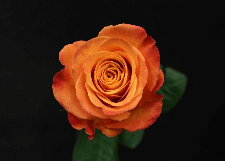Rose Confidential