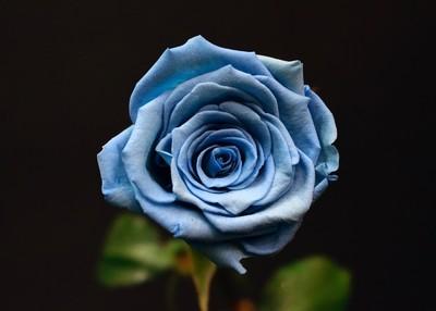 Rose Bleu ciel