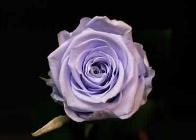 Rose Lavande