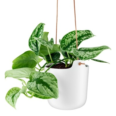 Hanging Indoor Ribbon Plant