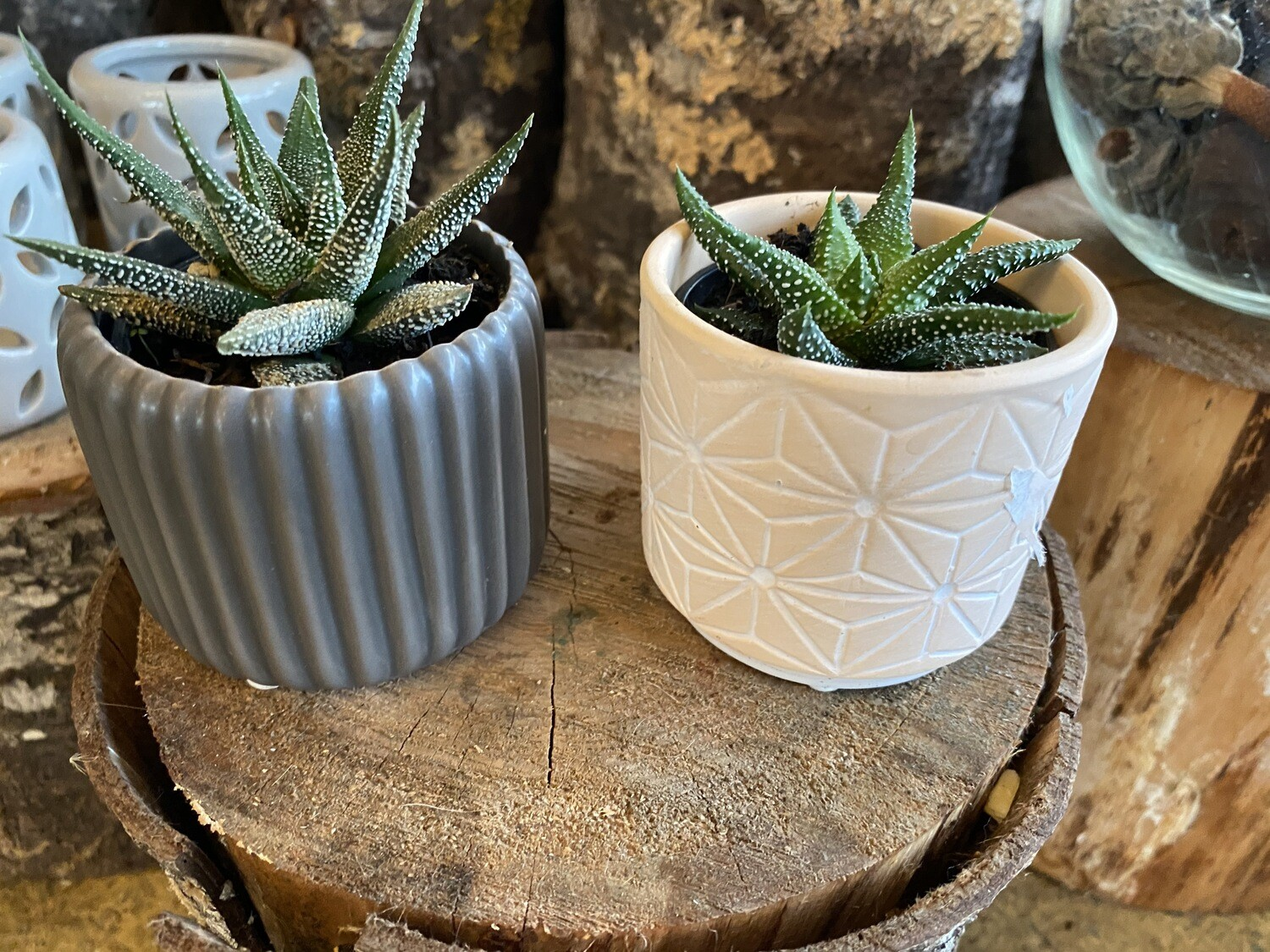 Mini Decorative Succulent Varieties