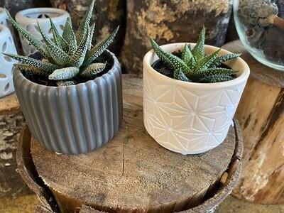 Mini Decorative Succulent Varieties