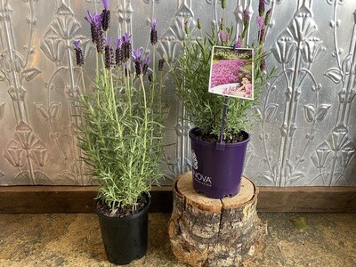 Potted Assorted Lavender (Lavandula)