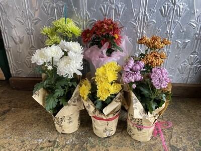 Potted Chrysanthemum