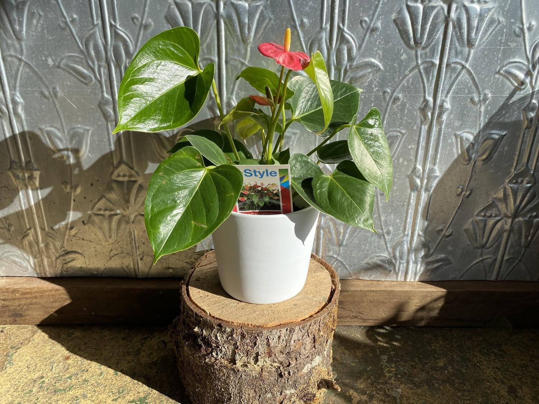 Potted Anthurium (Anthurium andraeanum)