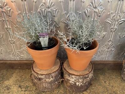 Potted Cushion Bush (Leucophyta brownii)
