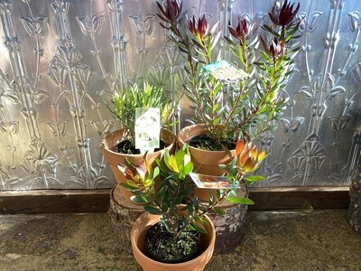 Potted Leucadendron