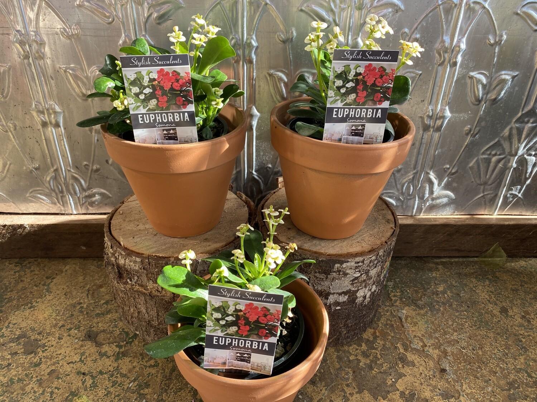 "Potted Euphorbia Somona Succulent ""Crown of Thorns"" - (Euphorbia milli)"