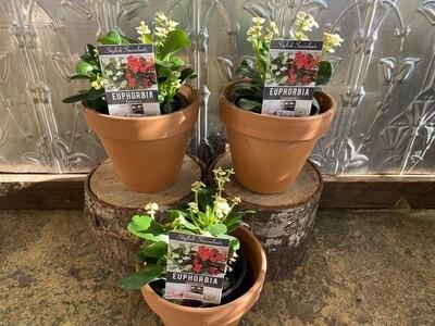 Potted Euphorbia Somona Succulent