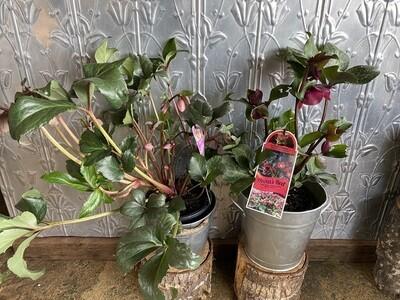 Potted Winter Rose (Helleborus)