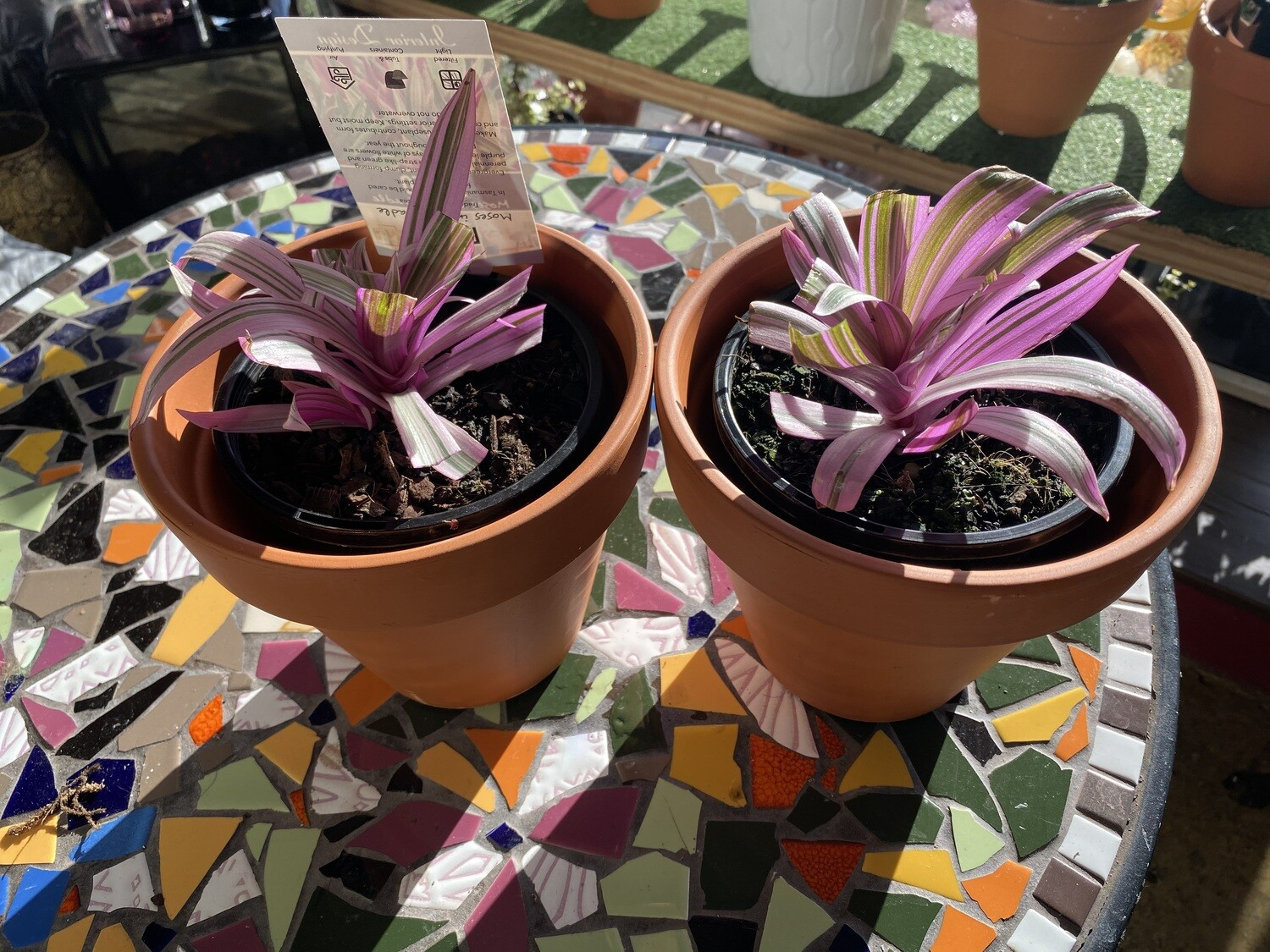 """Potted Rhoeo """"Moses in the Cradle"""" (Tradescantia spathacea)"""