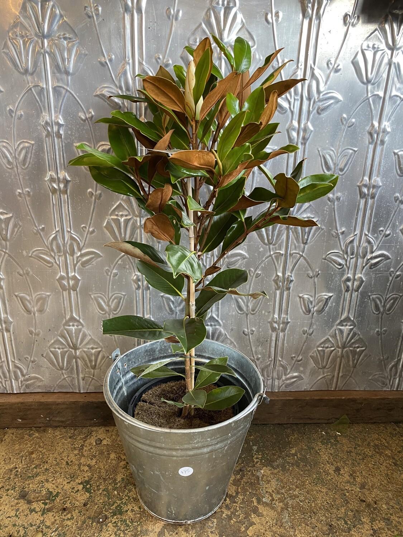 "Potted Magnolia grandiflora ""Little Gem"""