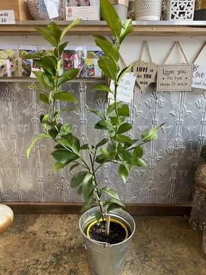 Potted Tahitian Lime Tree (Citrus latifolia)