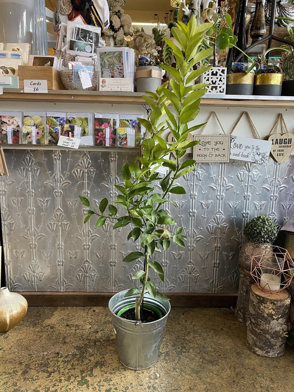 Potted Dwarf Meyer Lemon Tree (Citrus limon 'meyer)