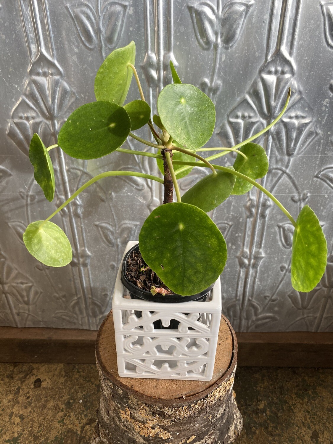 """Potted Pilea """"Chinese Money Plant"""" (Pilea peperomiodes)"""