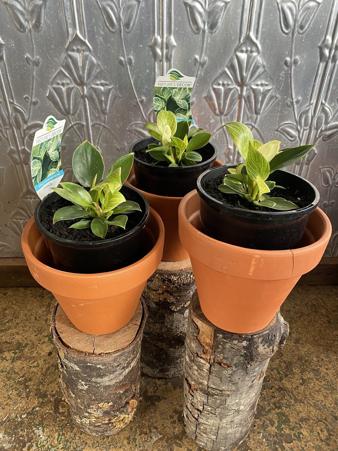 Potted Philodendron Birkin (Philodendron erubescens)