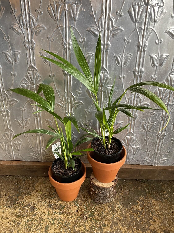 Potted Kentia Palm (Howea forsteriana)