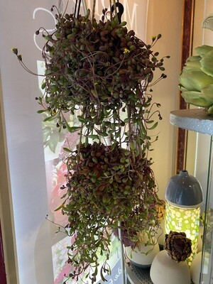 Hanging Potted Othonna -