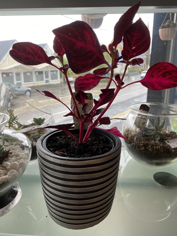 """Potted Iresine """"Blood Leaf Plant"""""""