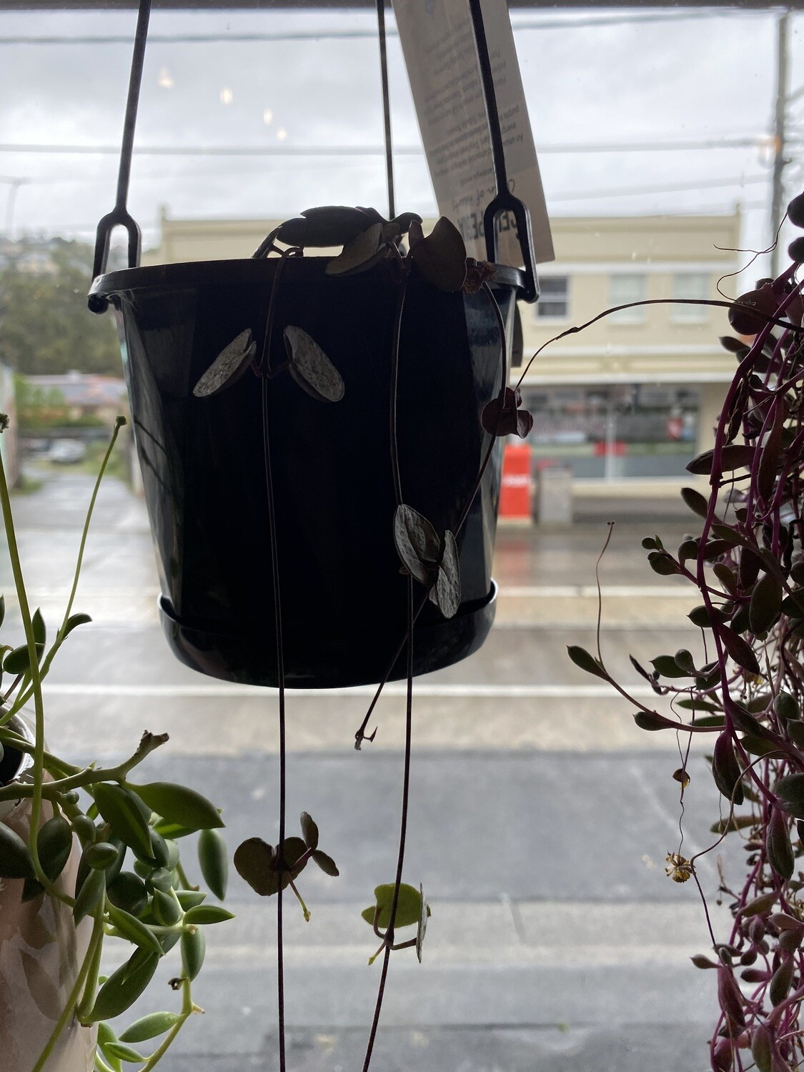 "Hanging Potted Variegated ""Chain of Hearts"" - (Ceropegia Woodii Variegata)"