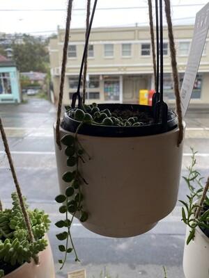 "Hanging Potted ""String of Pearls"" - (Senecio rowleyanus)"