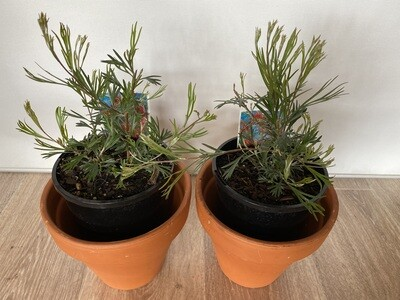 Potted Grevillea