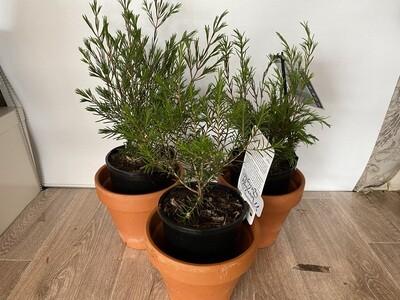 Potted Geraldton Wax Varieties - (Chamelaucium)