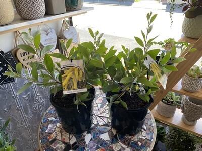 Potted Acacia Varieties