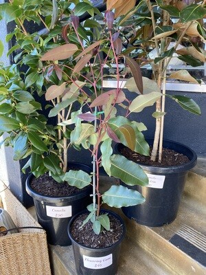Potted Flowering Gum - (Corymbia ficifolia syn. Eucalyptus)