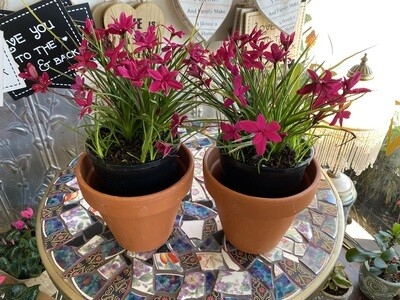 "Potted Rhodohypoxis ""Beverly"" - (Rhodohypoxis milliodes)"