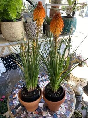 "Potted Kniphofia ""Poco Orange"" - (Kniphofia asphodelaceae)"