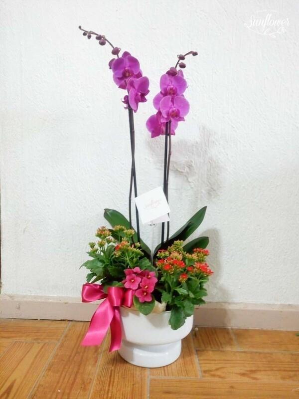 Orquídea phalaenopsis en maceta