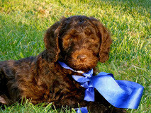 Blue Ribbon Dog Training Packages.